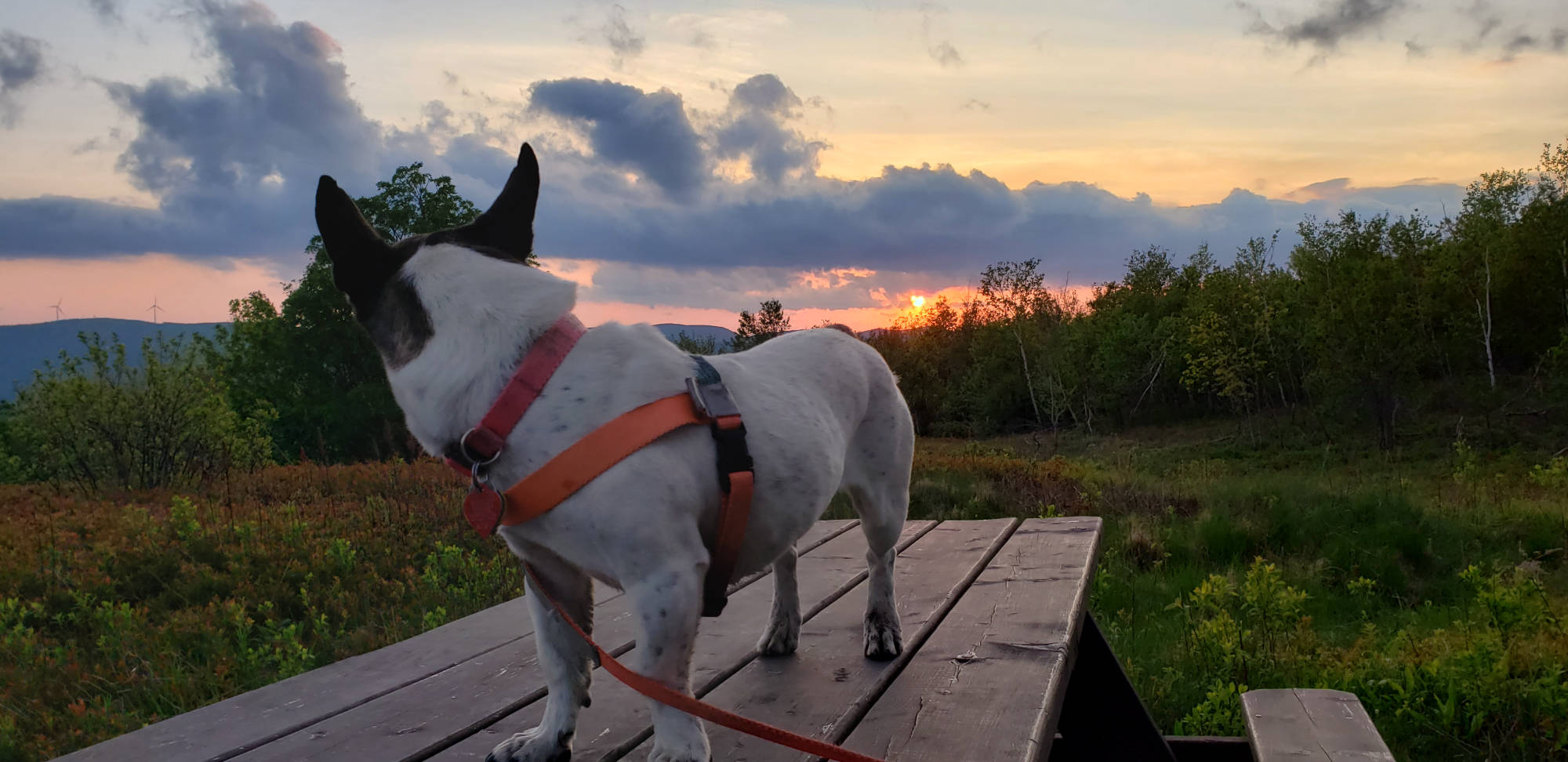 jack russell dog on picnic table at sunset