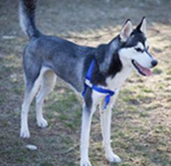 The Sportso Doggo in Sapphire Blue
