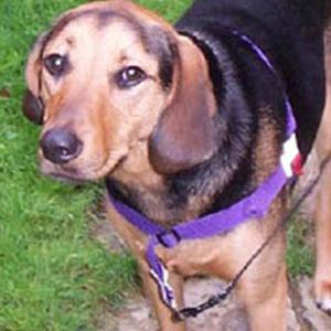 Tree Walker Coonhound