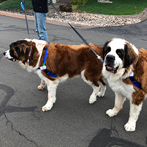 Read more about these cute St. Bernards